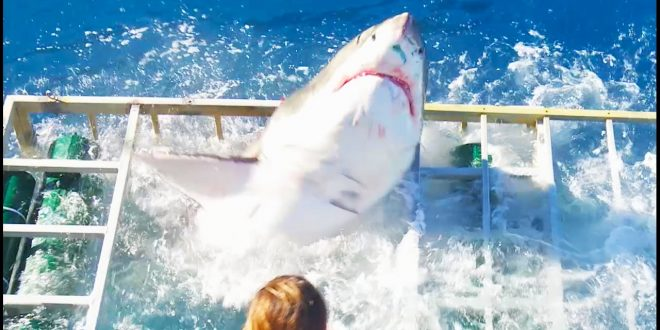 Shark attempts to rescue humans